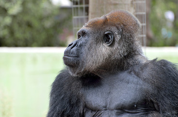 Gorilla in cattività