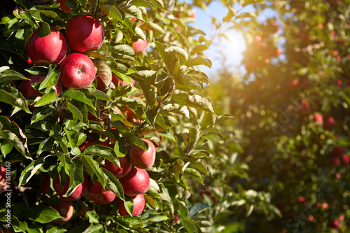 red apples on the trees in the orchard - 71610167