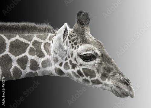 Fotobehang Giraffe Black and white image of a young giraffe