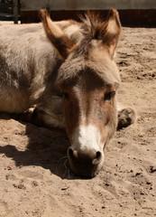 Liegender Esel