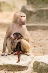 Adult hamadryas baboon with baby