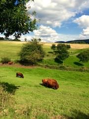 Kühe beim Weiden