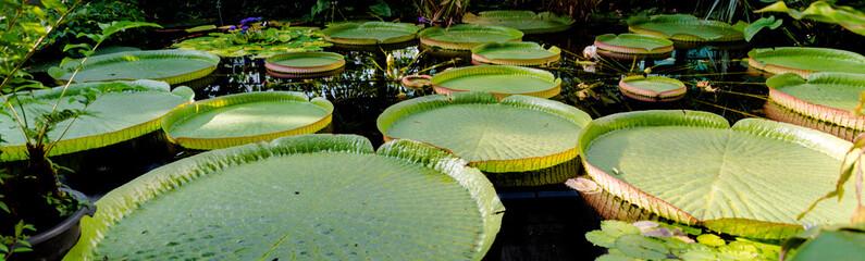 Wunderschöne Seerose im tropischen Regenwald