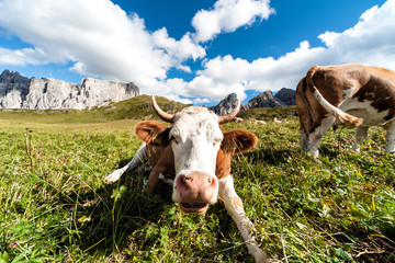 Mucche al pascolo sulle Dolomiti