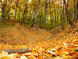 fallen leaves in autumn forest