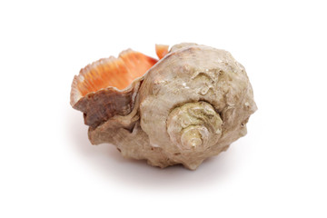 Big seashell