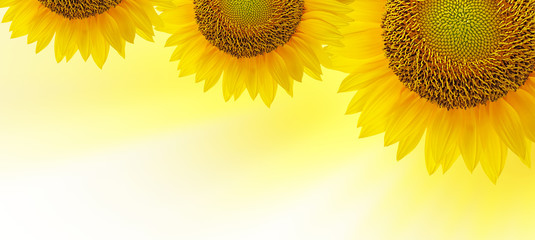Sunflowers isolated on white with place for your text