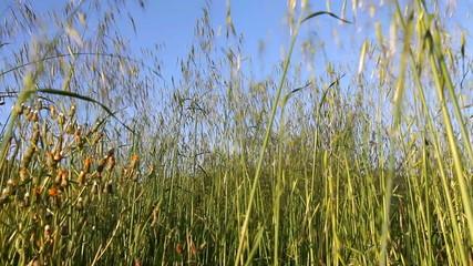 Hierbas verdes de primavera meciéndose   con el viento