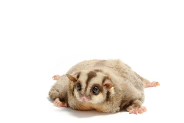 fat sugar-glider lying on the floor