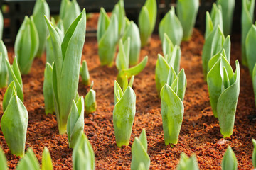 Spring tulip bulbs with green stems in the garden