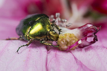 Green metallic beatle