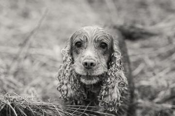 Happy Dog English cocker spaniel  portrait in sepia