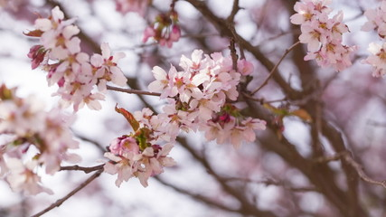 close up video of sakura cherry blossom, made from raw video