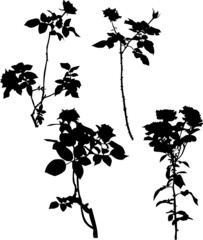 four black rose branches isolated on white