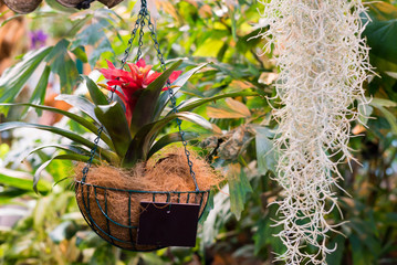 Potted flowers  in the interior, guzmania