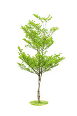 Green tree isolated on white background, binomial name Terminali