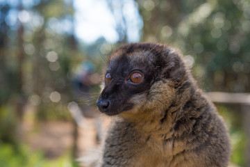 Brown Lemur of Madagascar