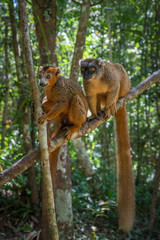 Brown Lemur of Madagascar