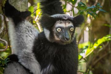 Indri, the largest lemur of Madagascar