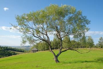 Tree In Field, Serbia