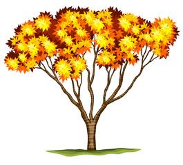A bloodgood Japanese Maple tree