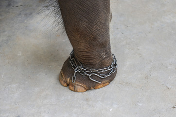 Chained leg elephant