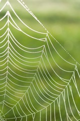 Spider web (Cobweb) with dew drops on a green background