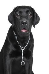Black Labrador puppy portrait