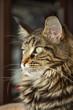 Постер, плакат: портрет кошки