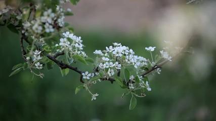 apple tree branch in spring