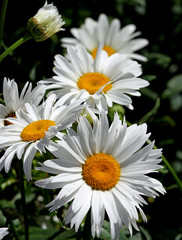 large white flower daisies with pure white petals