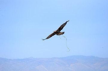 Eagle soaring over the steppe during the hunt.