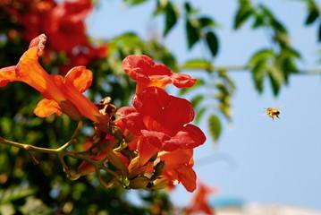 Trumpet Creeper or trumpet vine (bignonia radicans)