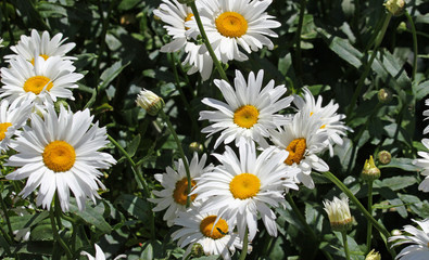 white flower daisies with pure white petals and yellow corolla