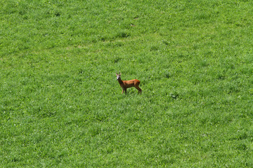 young Deer run free on the mountain green meadow