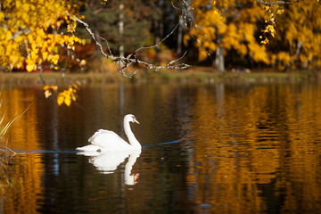 Swan on a lake in the autumn colors