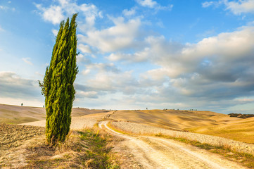 Solitary cypress guardian of the road