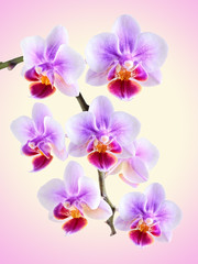 orchid on the color background