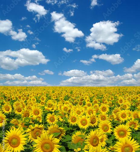 Aluminium Zonnebloemen sunflowers field