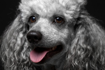 close-up portrait poodle