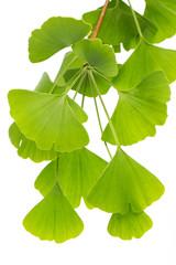Heilpflanzen: (ginko bilboa) Viele Blätter isoliert vor weißem