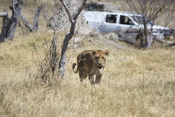 Wild lioness in front of a safari car