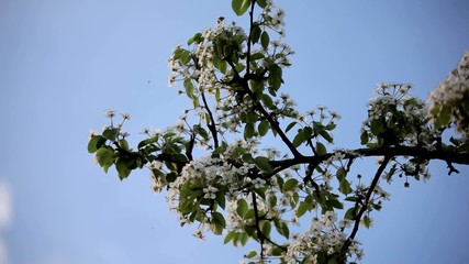 Blooming apple tree branch in spring