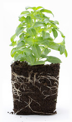 Sweet basil plant with roots and soil isolated on white