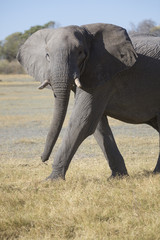 African elephant bull walking