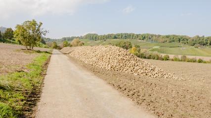 Zuckerrübenfeld, Erntezeit, Baselland, Herbst, Schweiz