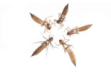 Abgelegte Exoskelette von Libellen