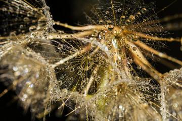 Macro Dandelion Seeds with  Waterdrops