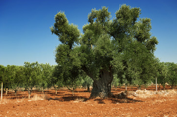 Antica pianta di ulivo