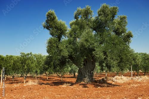 Tuinposter Olijfboom Antica pianta di ulivo